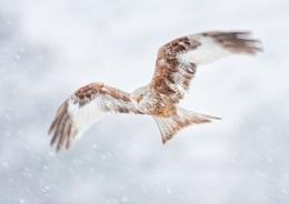 Kite in snow