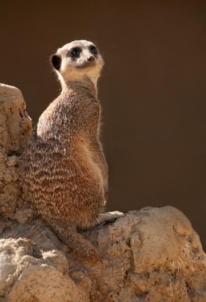 Meerkat sentry by ChristineL