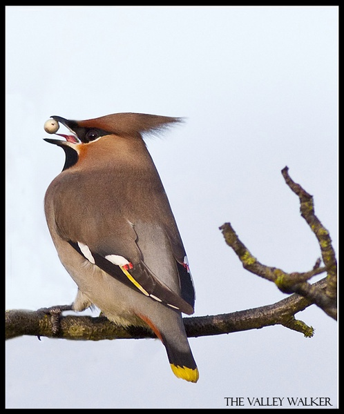 Waxwing by Alan_Coles