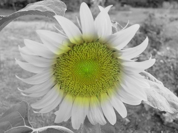 Sunny Sid Up by FlutrByShutrBy