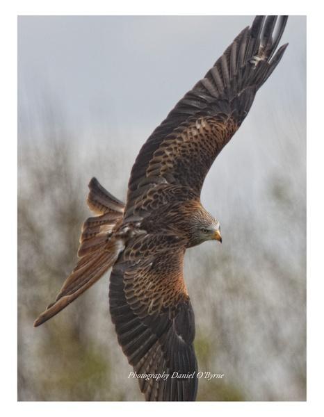 Red Kite by danob