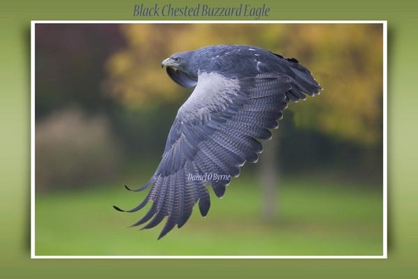 Buzzard Eagle by danob