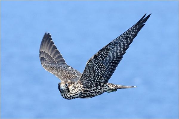 Peregrine Falcon by BrianSS