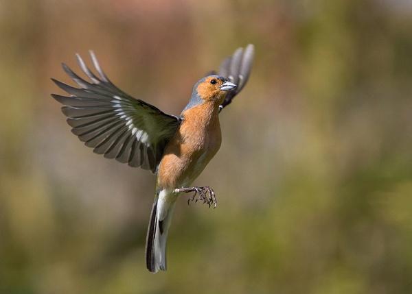 Male Chaffinch by lawbert