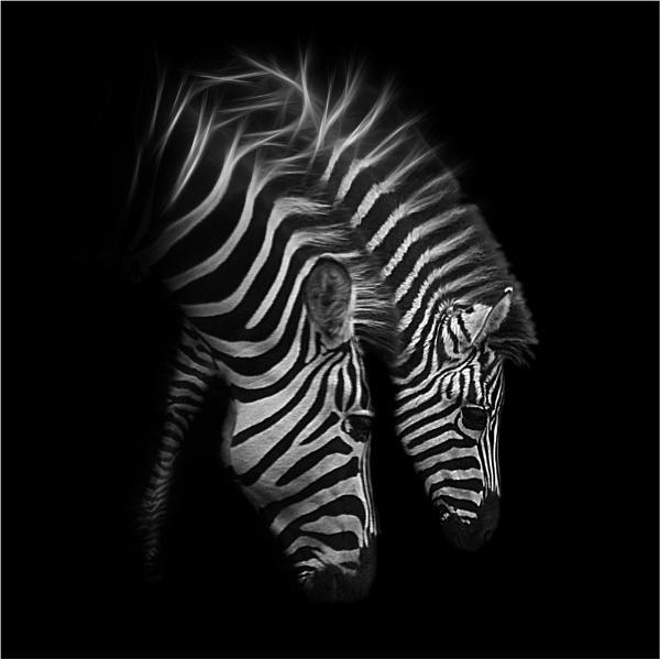 Zebra by iancatch