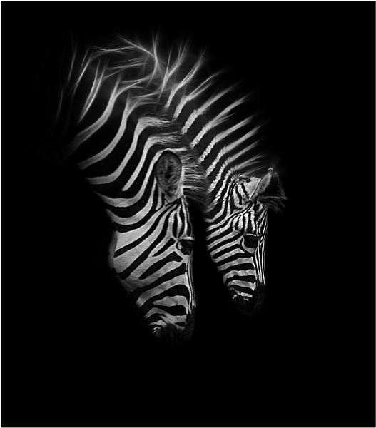 Zebra II by iancatch