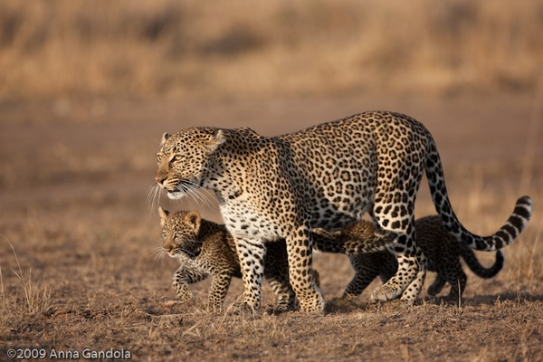 Leopard and cub by ag71