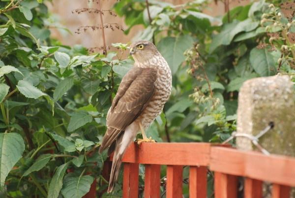 sparrow hawk by manorjim