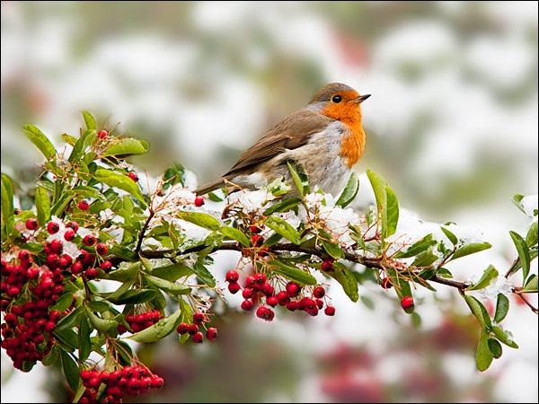Robin by LeighRebecca