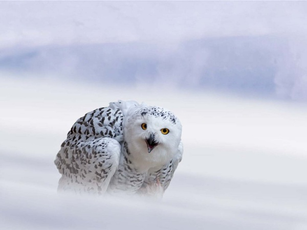 Snowy Owl by Colin Smale
