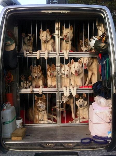 Huskies by jimmy-walton
