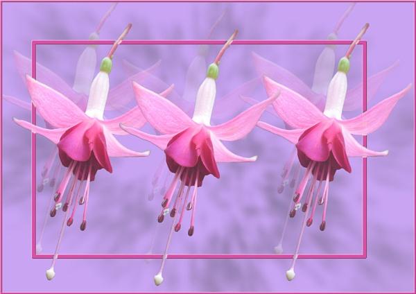 Dancing Fuchsias by susanbarton