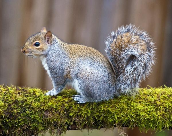 Squirrel by Wallybazoom