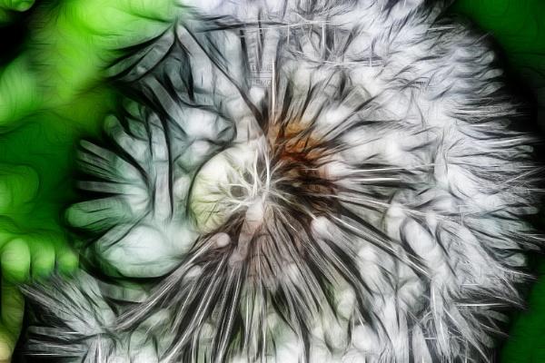 Dandelion by RickyRossiter