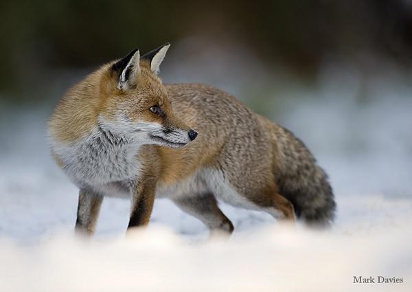 winter  fox by Enmark