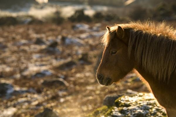 Dartmoor Pony by fazzer
