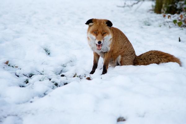 Morning Fox by Carrera_c