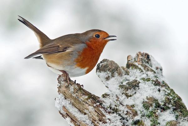 Snowy Robin by kieranmccay