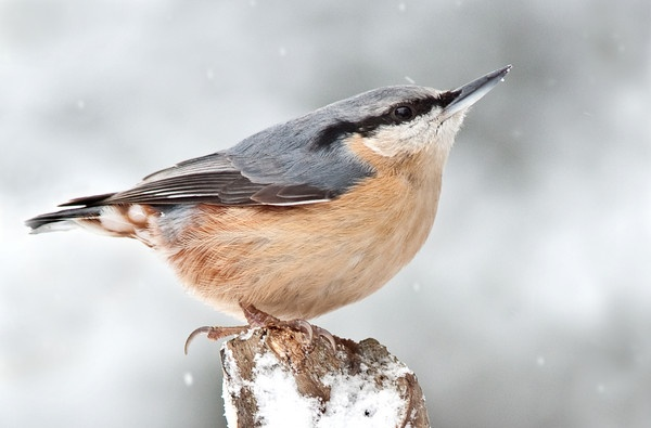 Nuthatch in snow by kieranmccay