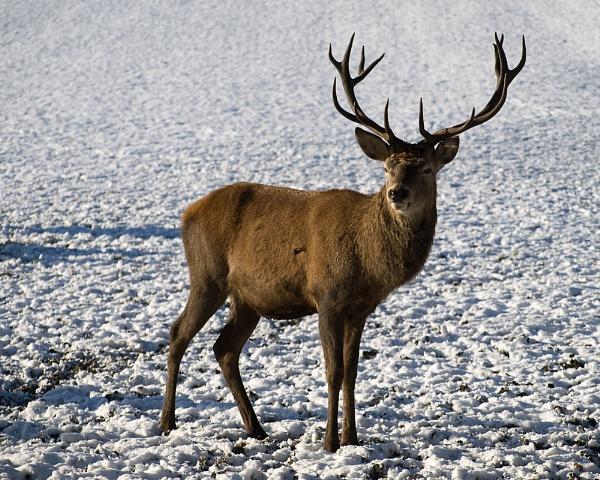 Snow Deer by Philo