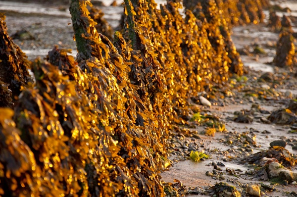 Glorious Seaweed by Bee76