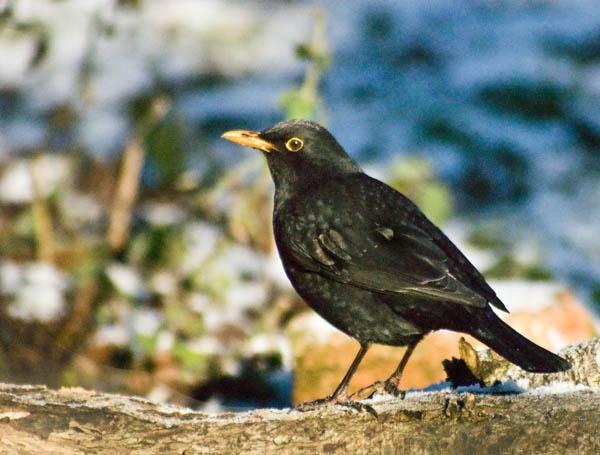 Blackbird by iotapix