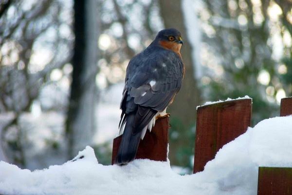 Male Sparrow Hawk by nil1106