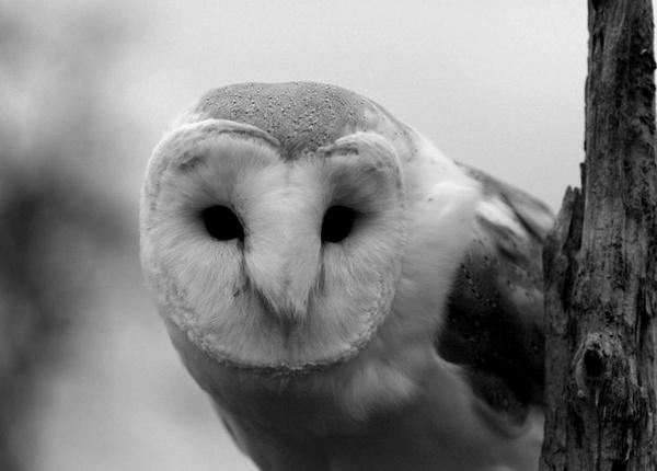 Barn Owl by woollyback