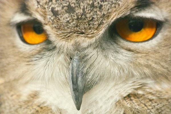 owl by skanner30