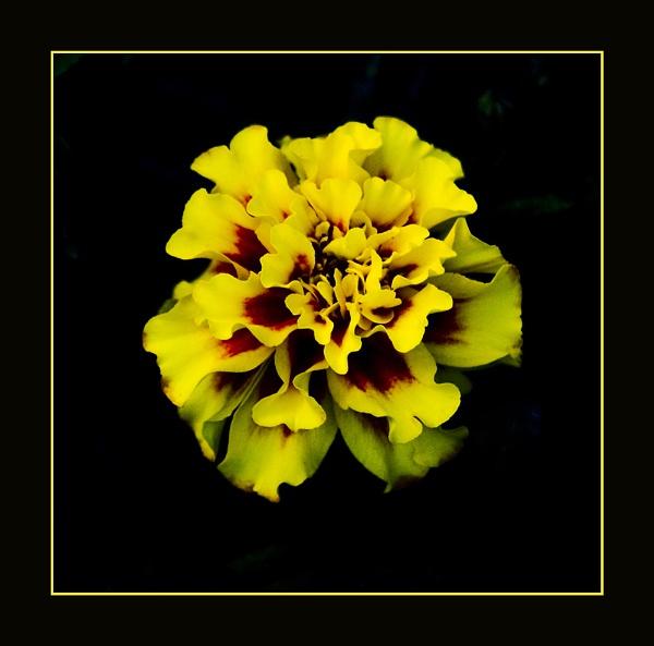 Yellow Marigold by JimV
