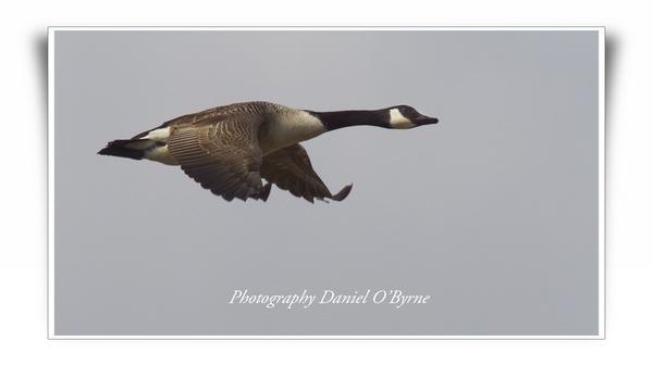 Canada Goose by danob
