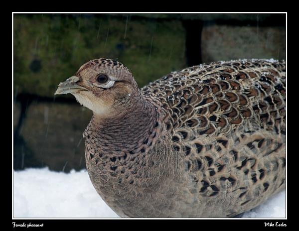 Female pheasant by oldgreyheron