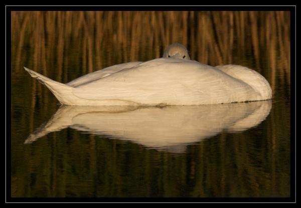 Swan by GaryR