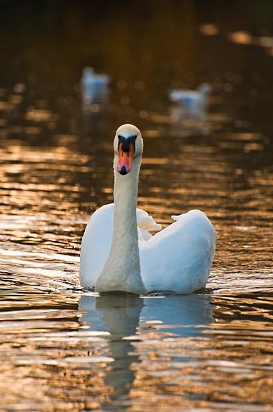 Mute Swan by Trev_B