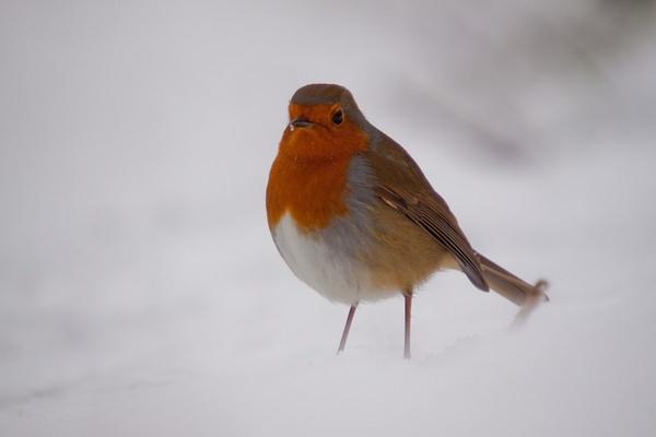 snowy robin by sheepdogshady
