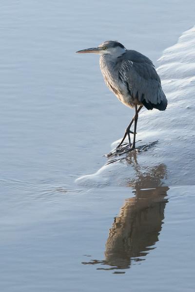 Heron by ger395