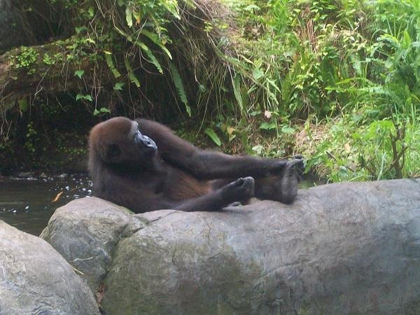 Gorilla by rachaelk