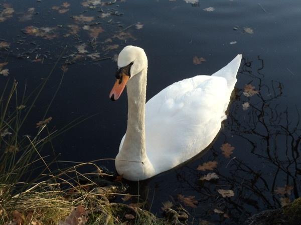 Dunham Massey Swan by Wheelers0161