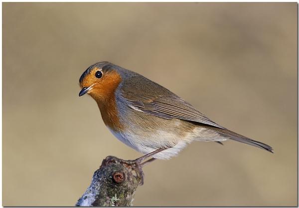 Robin by VidB