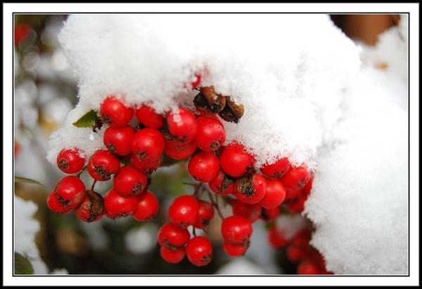 Snow Berries by Bazman