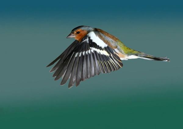 Male Chaffinch by bluetitblue