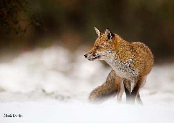 Soggy Fox by Enmark