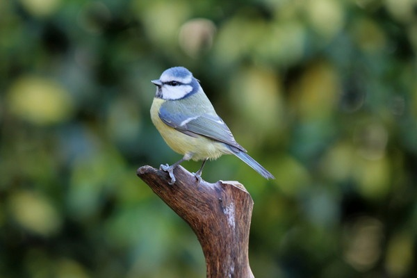 Blue Tit Cyanistes Caeruleus by HarveySquires