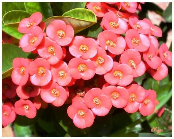 Pink Beauty by RajaSidambaram