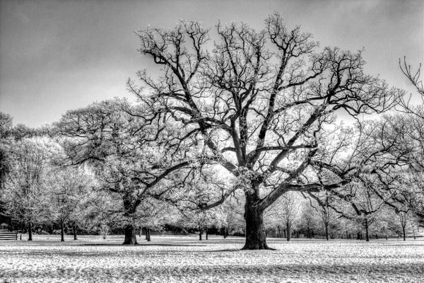 Snowy Tree by cat001