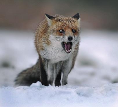 SNOWY FOX by LeeFisher