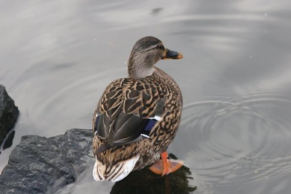 Duck by bones316