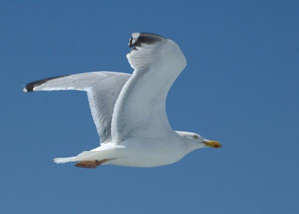 Gull in flight by JohnJenkins99