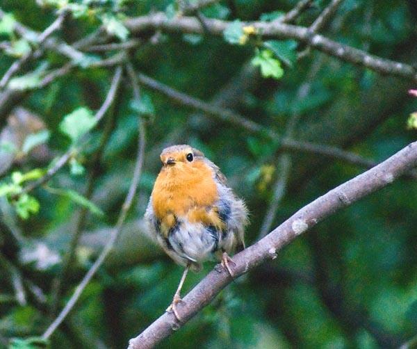 fledgling by iotapix