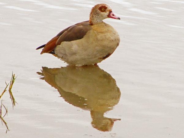 Egyptian Goose by Steve3671